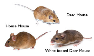 Mice Control In Mercer Ocean Monmouth Middlesex County Nj