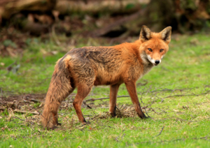 Fox Control In Mercer Ocean Monmouth Middlesex County Nj