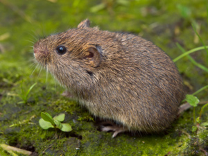 Vole Removal In Mercer Ocean Monmouth Middlesex County Nj