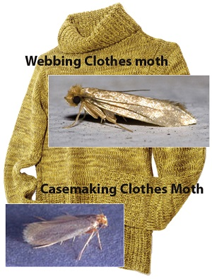 Clothing moths can destroy your valuable sweaters!