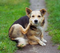 fleas dog