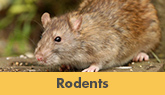 Rodent Removal and Treatment in Trenton, Edison & Nearby