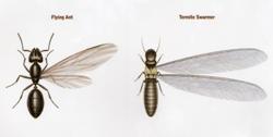 termite ants